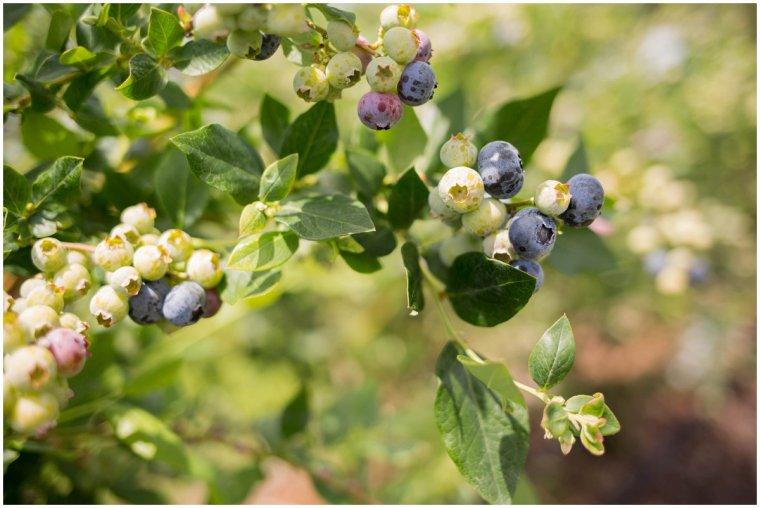 Mount Dora Blueberry Picking